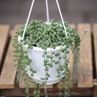 Succulent Hanging Baskets