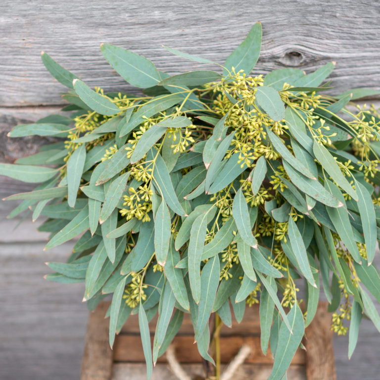 Eucalyptus Seeded Bundle